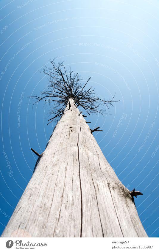 hoch hinaus | Strunk Natur Pflanze Himmel Herbst Baum Nadelbaum Fichte alt gruselig blau grau schwarz Baumstamm Baumsterben einzeln Tod Holz Froschperspektive