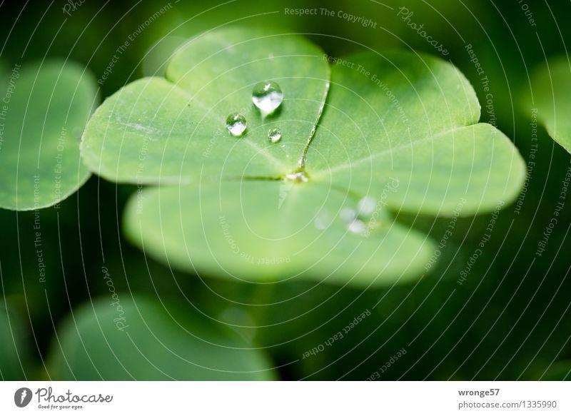 Elfentränen Pflanze grün Sommer Blatt Wald schwarz klein Wassertropfen Kleeblatt Glücksbringer Glücksklee