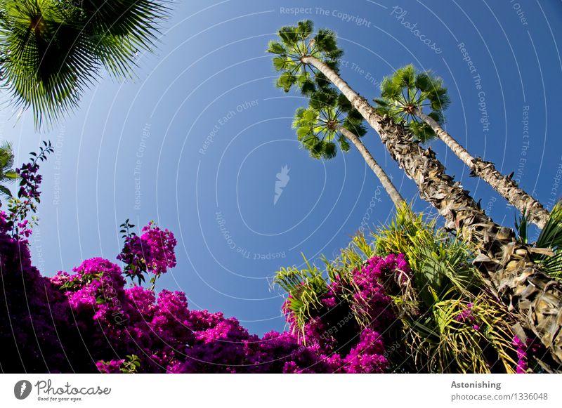 Nature Umwelt Landschaft Pflanze Luft Himmel Wolkenloser Himmel Sommer Wetter Schönes Wetter Baum Blume Blatt Blüte Palme Park Wald Urwald Blühend stehen blau
