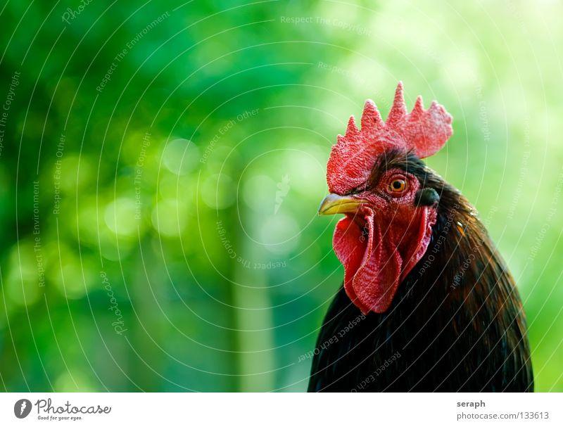 Hahn Tier Hahnenkamm Kamm Vogel Schnabel Bauernhof Haushuhn Viehhaltung Tierhaltung Freilandhaltung Krähe Hühnervögel kikeriki Feder schreien Blick Weide