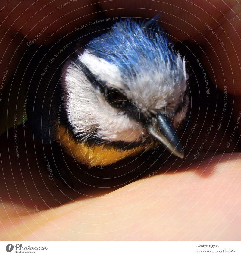 Scheiben-Unfall #1 Hand blau weiß schwarz Tier Auge gelb klein Vogel Angst Haut Hilfsbereitschaft Feder weich zart Schutz
