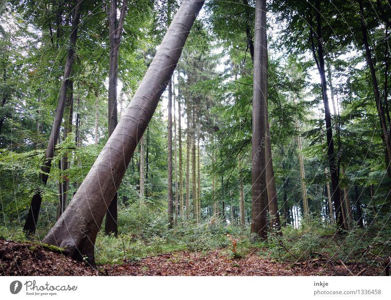 So geht er zur Neige Natur Sommer Baum Blatt Wald Umwelt Herbst natürlich stehen Neigung Baumstamm nachhaltig diagonal Waldboden umfallen Mischwald