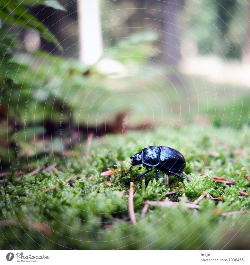Karl hat keine Zeit für Fragen Natur Moos Wald Waldboden Tier Wildtier Käfer Mistkäfer 1 krabbeln glänzend klein schwarz Umwelt Farbfoto Außenaufnahme