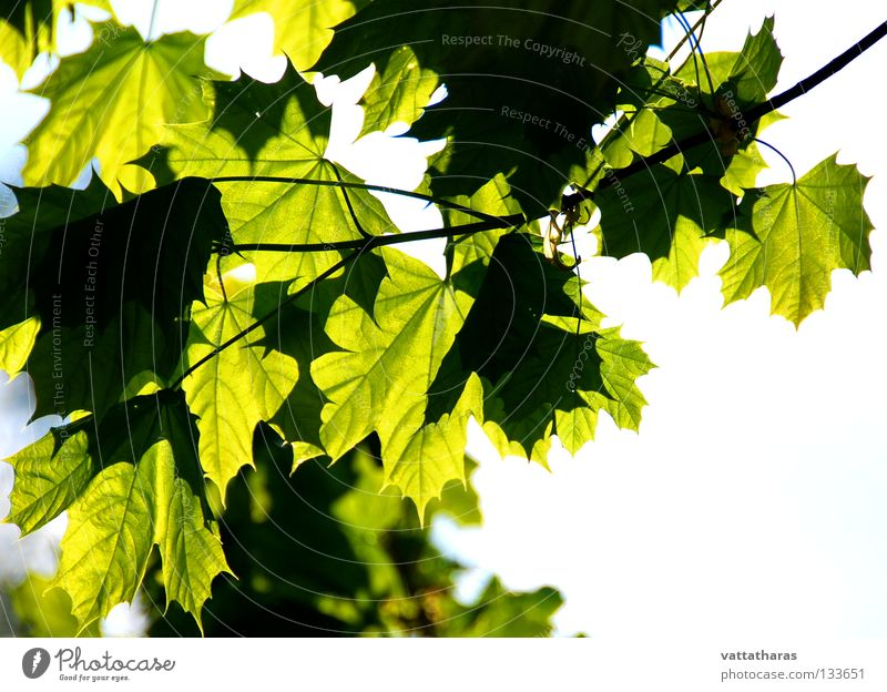 Summer Feelings Blatt Ahorn springen Sommer Natur Trees Leaf