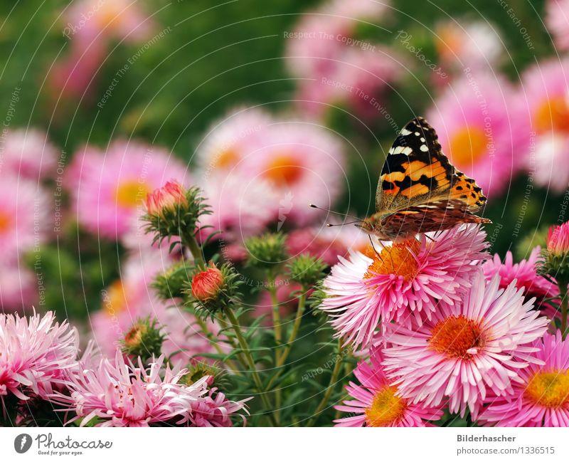 Distelfalter im Blumenmeer Astern Schmetterling Augenfalter Insekt Flügel Fühler Edelfalter winterfest Blütenstauden Herbstlaub strahlenförmig Blütenblatt