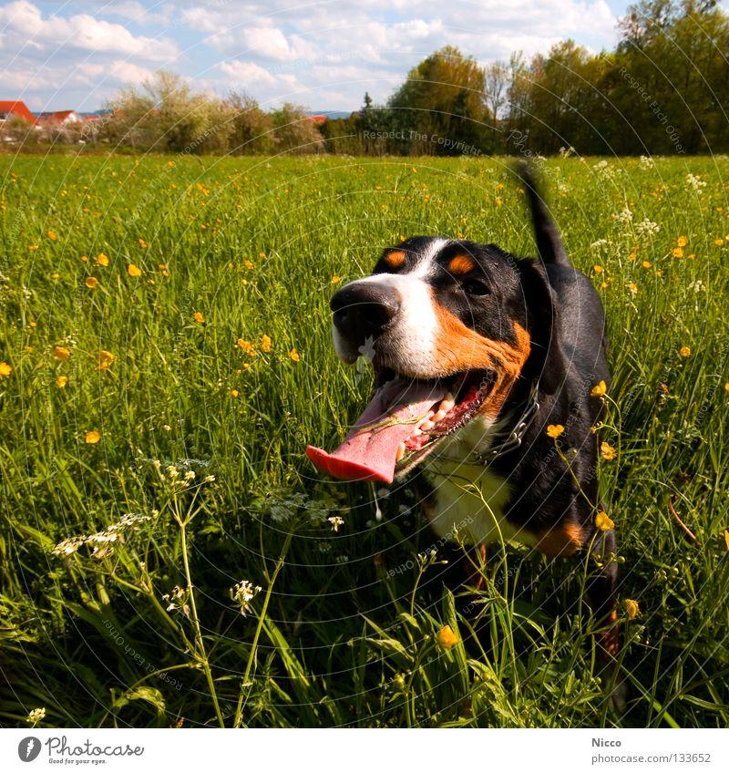 Ich hab die längste Zunge der Welt Hund sabbern Wiese Blumenwiese Wolken Tier Haustier grün gelb Reißzahn gefährlich atmen Physik Spielen Halsband
