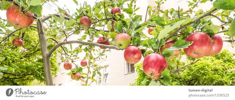 Äpfel hängen am Baum Lebensmittel Frucht Apfel Ernährung Sommer Haus Garten Erntedankfest Landwirtschaft Forstwirtschaft Natur Herbst Blatt Stadt lecker saftig