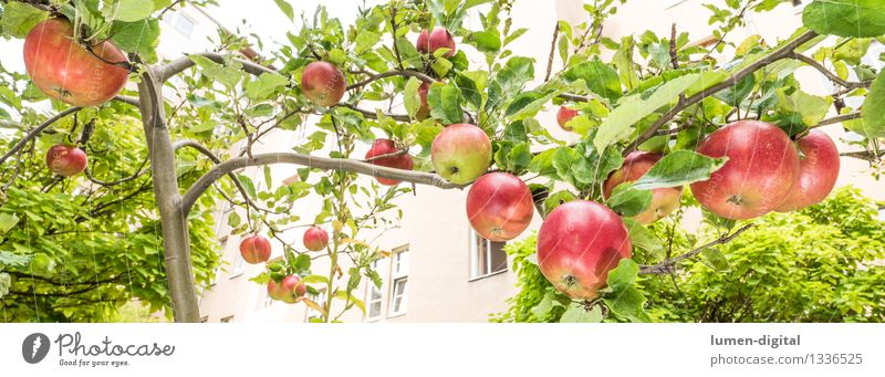 Äpfel hängen am Baum Natur Stadt grün Sommer rot Blatt Haus Herbst Garten Lebensmittel Frucht Ernährung Landwirtschaft lecker Ernte