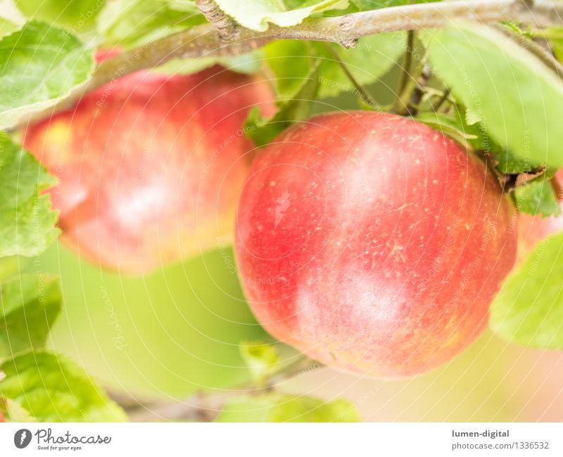 Äpfel hängen am Baum Natur grün Sommer Baum rot Blatt Herbst Garten Lebensmittel Frucht Ernährung Landwirtschaft lecker Ernte Apfel reif