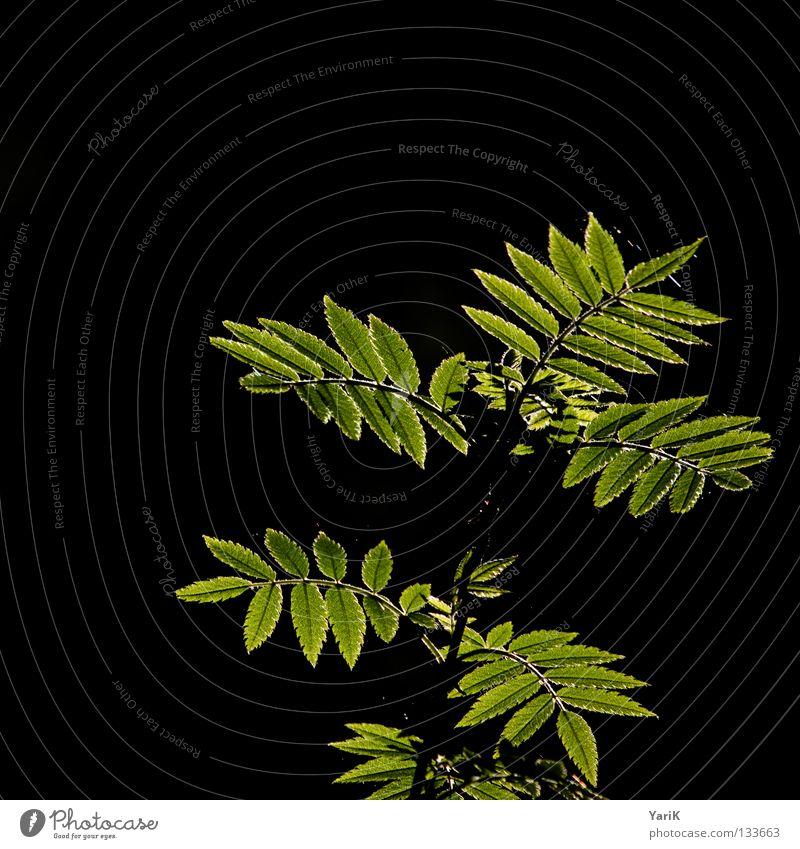 sonnenblätter grün Sommer Blatt schwarz dunkel Wärme Frühling Beleuchtung Hoffnung Wunsch Physik erleuchten Echte Farne Lichtstrahl Lichtschein Brennpunkt
