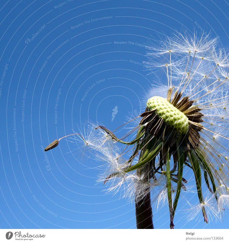zerzauste Pusteblume , an der schon einige Samen fehlen Blume Löwenzahn blasen mehrere säen Sommer Frühling Mai Wolken Pflanze Blühend Wiese Wegrand Wachstum