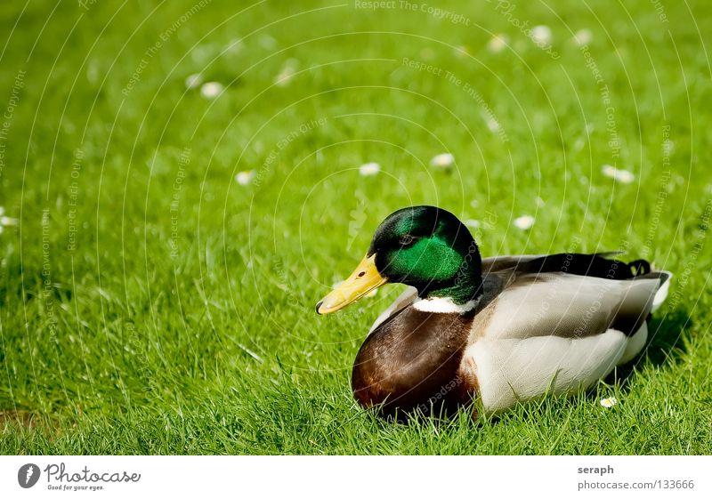 Erpel Entenvögel Erholung ausruhend Vogel Quaken Schnabel Feder Stockente Tier Natur maskulin Wildtier Wiese Weide Wachsamkeit Blick Blumenwiese Gras mehrfarbig