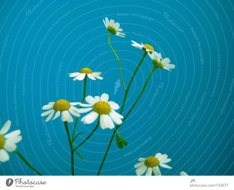 daisy kamill Natur weiß Blume grün blau Pflanze Sommer gelb Frühling Zufriedenheit frisch dünn niedlich leicht Leichtigkeit fein