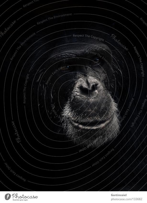 Pan Tier Wildtier Tiergesicht Fell dunkel schwarz weiß Gefühle Vertrauen Tierliebe Weisheit Affen Menschenaffen Gesichtsausdruck expressiv Säugetier Auge Nase