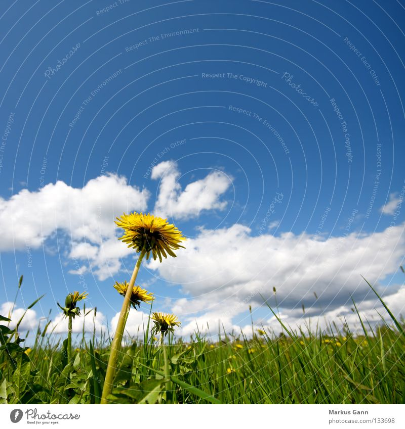 Löwenzahn Froschperspektive Frühling Sommer Gras Wolken grün gelb Blume Halm Physik frisch Blüte weiß groß Makroaufnahme Nahaufnahme Himmel blau Stengel