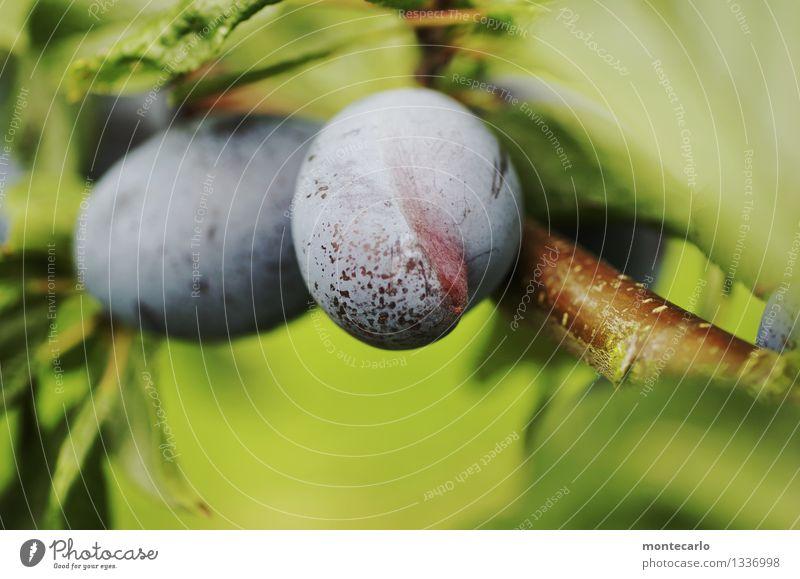 nicht einheitlich Lebensmittel Frucht Pflaume Pflaumenbaum Pflaumenblatt Vegetarische Ernährung Umwelt Natur Sommer Baum Blatt Grünpflanze Nutzpflanze Ast