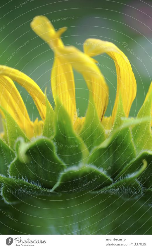 sonnenblume Umwelt Natur Pflanze Blume Blatt Grünpflanze Nutzpflanze Wildpflanze Sonnenblume dünn authentisch einfach frisch einzigartig lang nah natürlich
