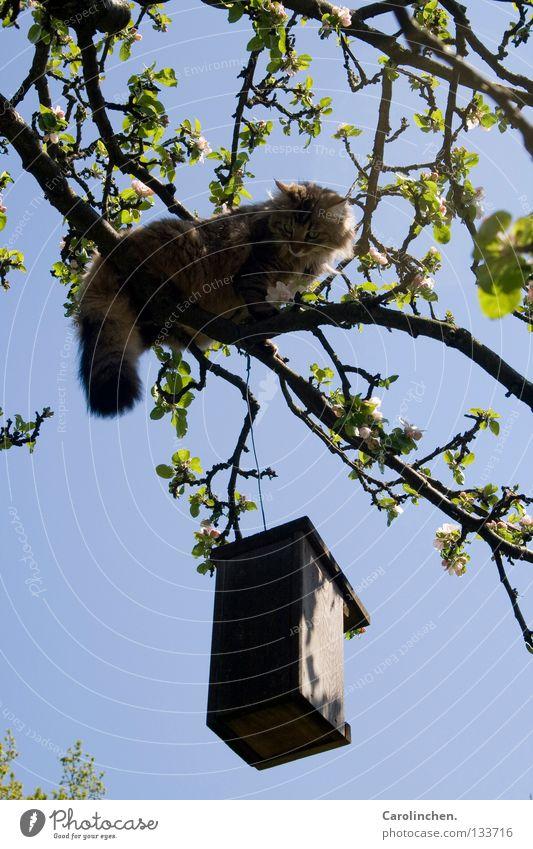 Räuber. Baum blau Sommer Katze hell Vogel Jagd kämpfen Säugetier Dieb