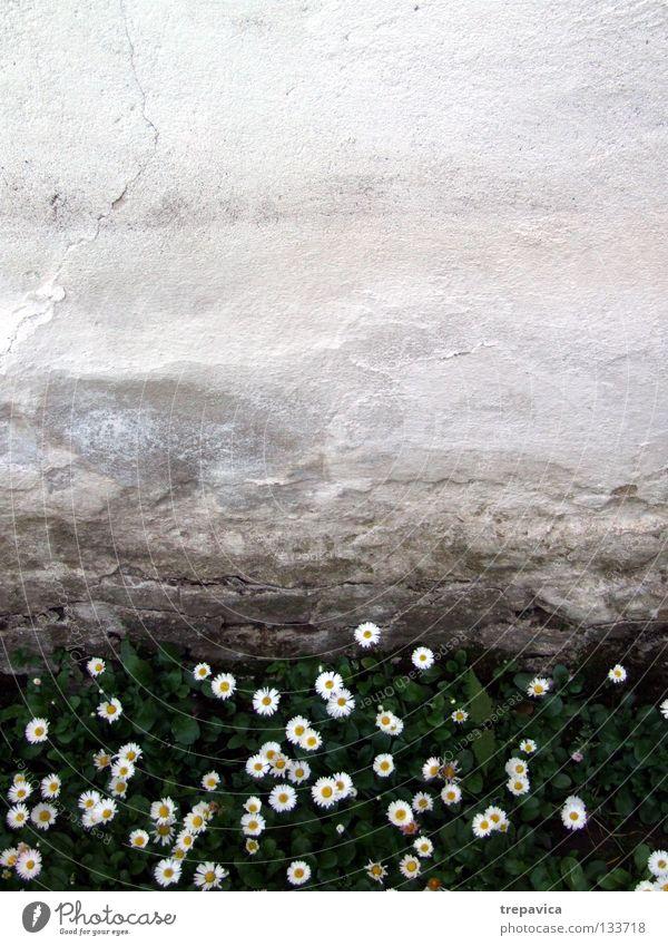 bluemchen Wand Blume Gras nass grün weiß gelb Frühling Wiese Pflanze Sommer Mai April schön Hintergrundbild süß klein Mauer feucht alt Natur Außenaufnahme