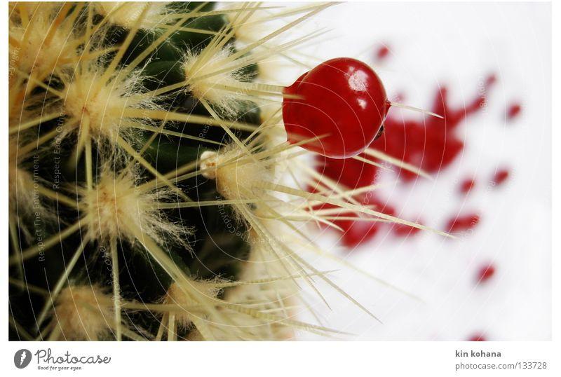 symbiose grün rot Kaktus trocken Saft Ernährung Leben Kraft Erde Sand Vergänglichkeit Stachel spießen Wassertropfen Beeren Frucht Wüste Lebensmittel Blut