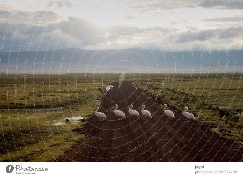 Gänsemarsch ruhig Tier Vogel Wildtier Tiergruppe Zusammenhalt führen Schnabel kreuzen Safari Überqueren Pelikan Tansania