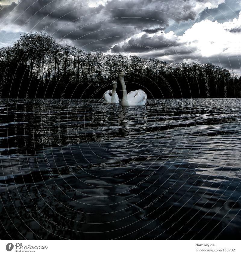 duo Wasser weiß schön Baum Wolken Wald dunkel grau Frühling Küste See Vogel fliegen Insel Schwimmen & Baden Dorf