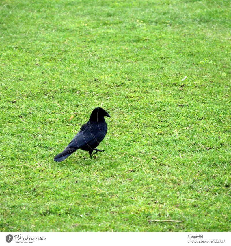 Fussgänger Rabenvögel Vogel Schnabel Gras grün schwarz Feder Himmel Flügel fliegen laufen Bodenbelag
