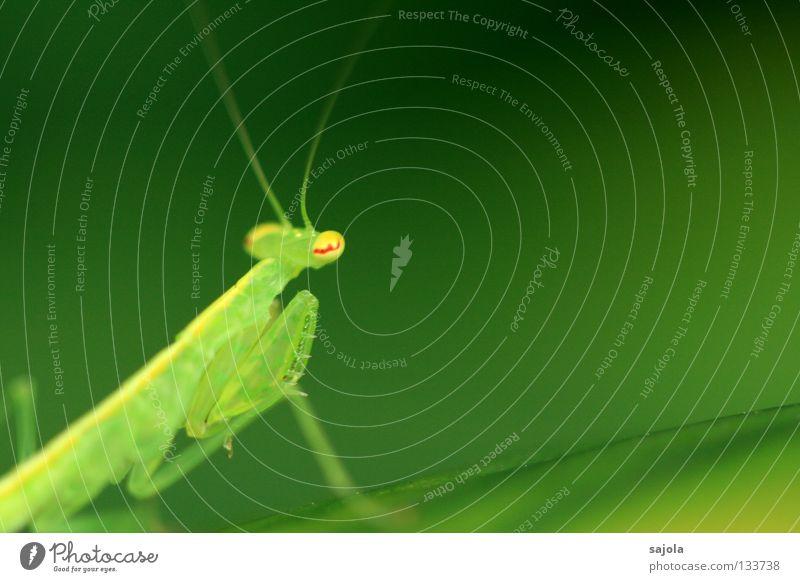 andacht oder lauerstellung? grün rot Auge Tier gelb Farbe Kopf Beine Asien Insekt Fühler Singapore Dreieck Heuschrecke Tarnung Anpassung