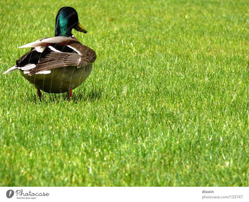 Und dann kannst du mich... grün Wiese Gras Vogel Rasen Feder Flügel Ente Schnabel Badeente Hausente Erpel Daunen watscheln Stockente