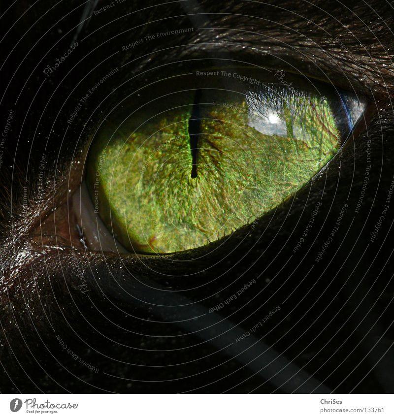 KatzenaugenLeuchten .... Katze grün schön Tier schwarz Auge beobachten Säugetier unheimlich frontal filigran Pupille Makroaufnahme Regenbogenhaut Katzenauge Wildkatze
