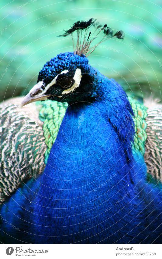 Pfau blau schön Tier Vogel Feder Tiergesicht Schnabel typisch Pfau gefiedert Fasan leuchtende Farben ultramarinblau Ziervogel