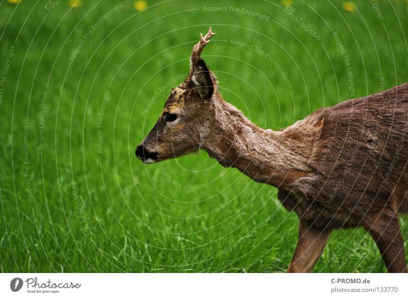 Reh Bock Paarhufer Horn Fell Wiese Waldlichtung Pirsch Schüchternheit Angst Jäger Stalking Säugetier Schwäche Capreolus capreolus Schalenwild Rehbock Jagd