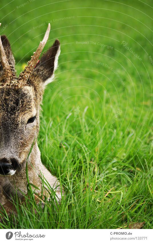 Gedankenschweres Reh Wiese Angst Wildtier Fell Jagd Horn Säugetier Schwäche Jäger Schüchternheit Versicherung Waldlichtung Brunft Revier Bock