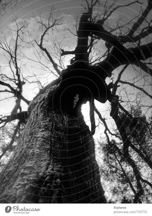 A tribute to Simon Marsden Baum gruselig Wald Grauwert dunkel Vergänglichkeit Märchen Baumrinde bedrohlich morsch Schwarzweißfoto Angst Panik Tod Ast Baumstamm