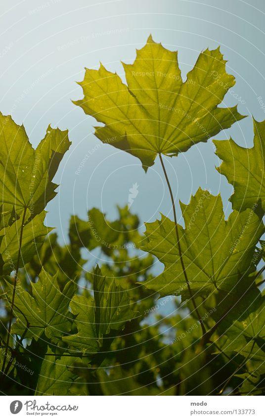 Auf zum Licht!!! Himmel Natur blau grün Baum Sonne Sommer Blatt Leben Frühling Hoffnung Idylle Ast Verkehrswege Photosynthese