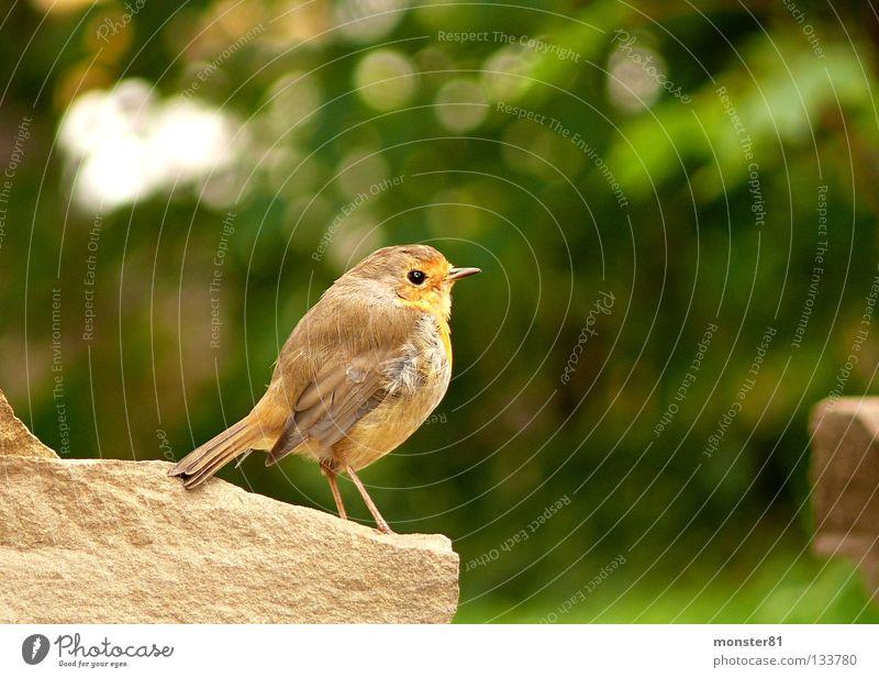 Begegnung im Garten Natur ruhig Mauer Vogel Neugier skeptisch Rotkehlchen