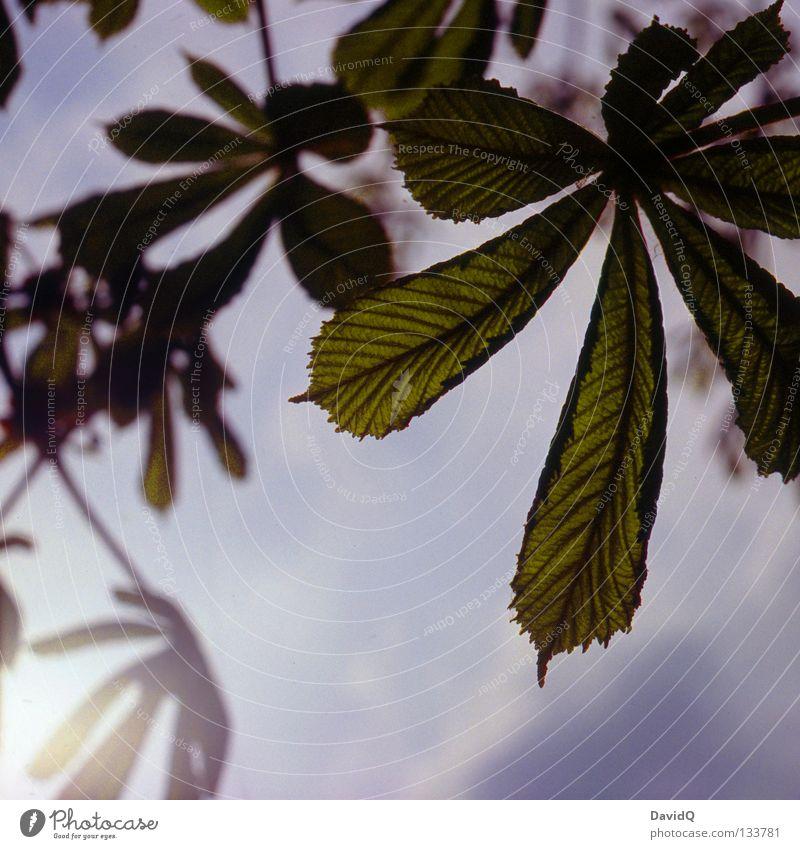 Kastanie Natur Himmel Sonne Blatt Frühling Park Wachstum Kastanienbaum sprießen entfalten austreiben