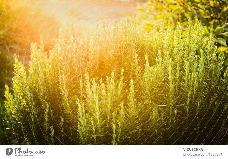 Rosmarin im Garten Stil Design Alternativmedizin Gesunde Ernährung Sommer Natur Sonnenaufgang Sonnenuntergang Sonnenlicht Frühling Herbst Schönes Wetter Pflanze