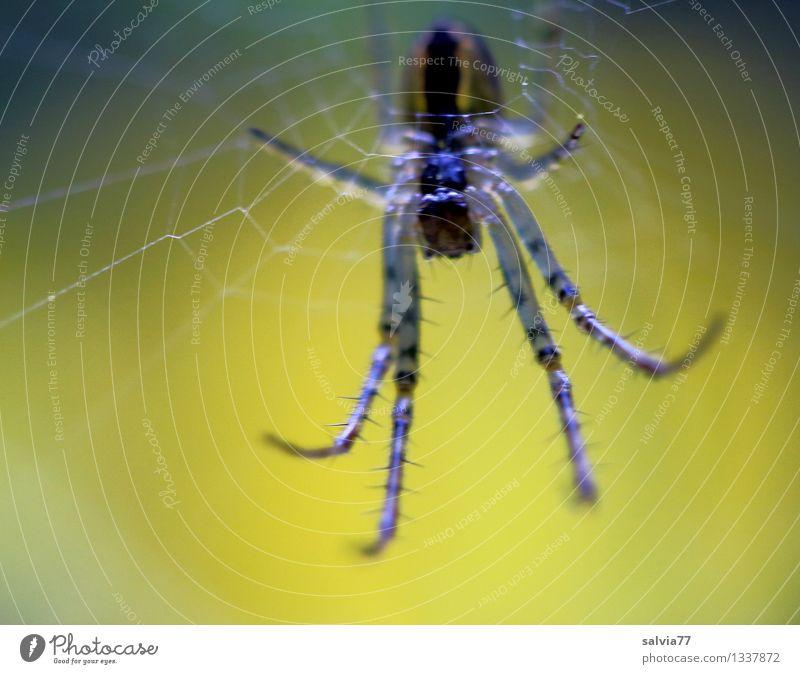 nicht näher! Natur Tier Wildtier Spinne 1 beobachten berühren hängen krabbeln warten dunkel Ekel gruselig hässlich klein nah dünn klug braun gelb schwarz
