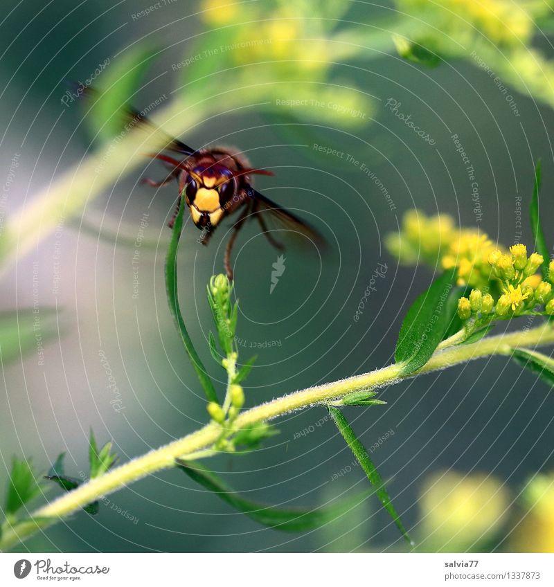 Vespa im Flug Natur Pflanze Tier Blume Blüte Wildpflanze Kanadische Goldrute Wildtier Flügel Vespa crabro 1 Blühend fliegen braun gelb grau grün Umweltschutz