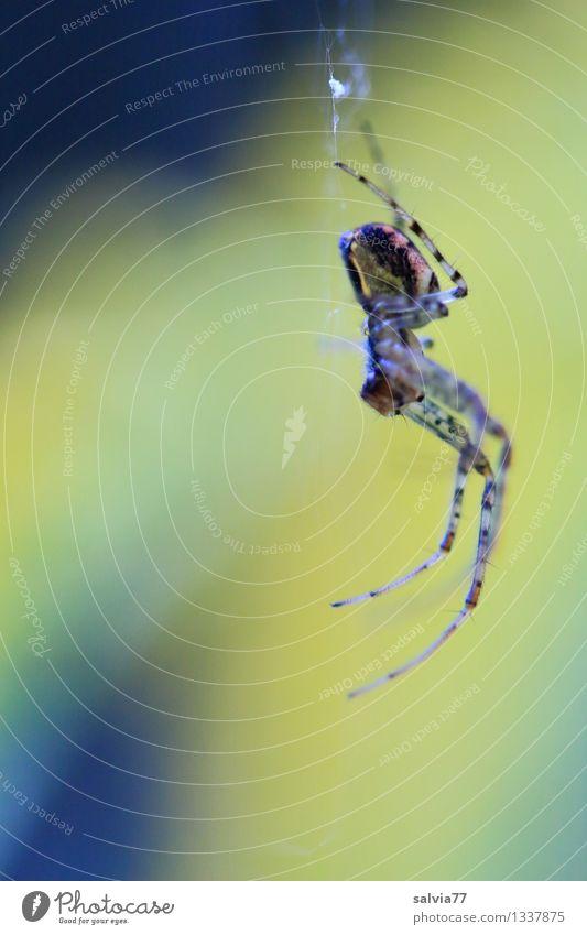 Spiderman/-woman Natur Tier Umwelt gelb Angst warten beobachten bedrohlich berühren dünn gruselig Jagd hängen krabbeln geduldig Ekel