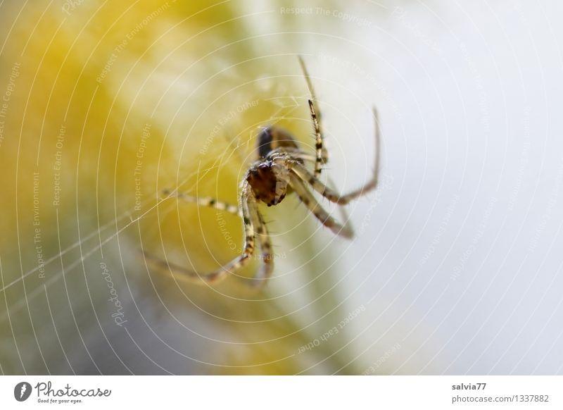Herbstspinne Umwelt Tier Spinne 1 beobachten fangen warten geduldig Leichtigkeit planen Spinnenbeine Spinnennetz Gegenlicht Farbfoto Gedeckte Farben