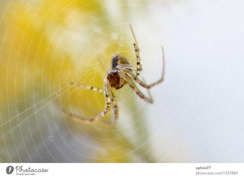 Hoffnungsvoll Umwelt Natur Pflanze Tier Herbst Blüte Spinne Herbstspinne Spinnennetz Spinnenbeine 1 beobachten berühren hängen warten bedrohlich Ekel klein