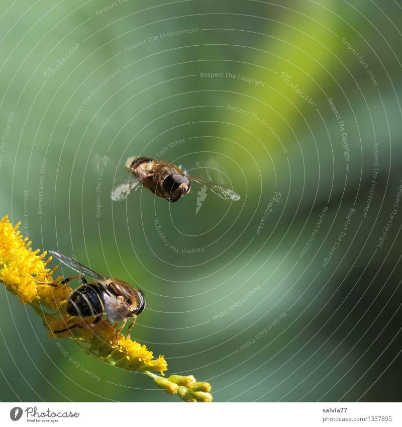 Warteschleife Pflanze Tier Sommer Blume Blüte Kanadische Goldrute Fliege Flügel Mistbiene Insekt 1 Blühend Duft fliegen warten klein gelb grün Bewegung Natur