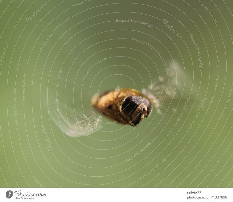 Schwebeflug Natur Tier Fliege Tiergesicht Flügel Mistbiene Insekt 1 fliegen frei klein sportlich braun Bewegung Geschwindigkeit Leichtigkeit Schweben