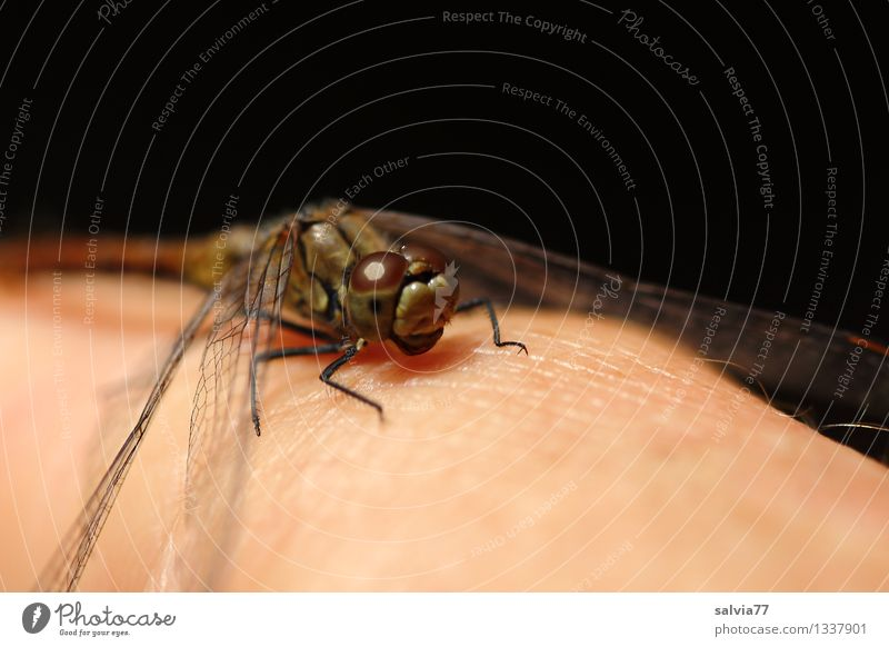 Handzahm? Natur Pflanze Hand Tier schwarz braun sitzen Flügel genießen Neugier nah Tiergesicht sanft Libelle vertraut Facettenauge