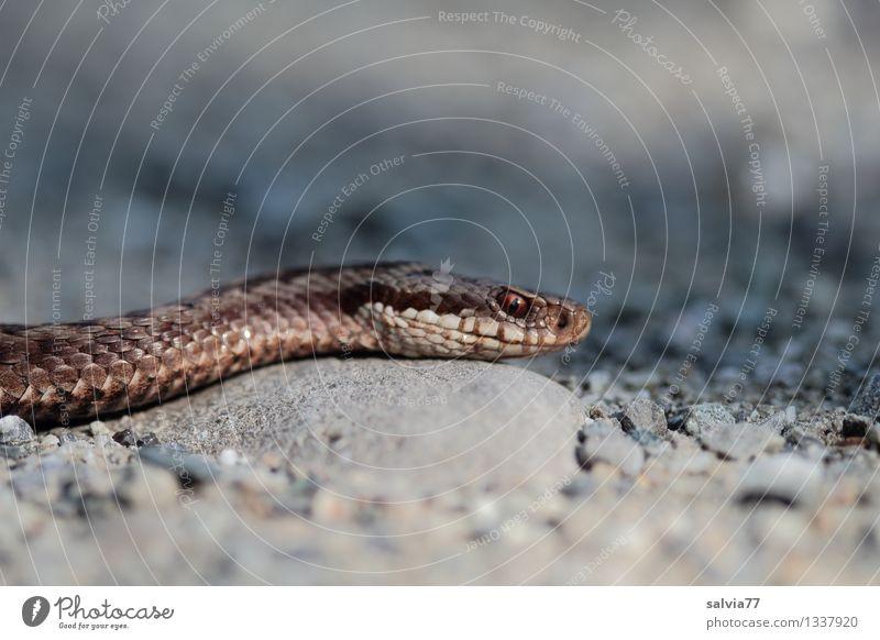 Viper Umwelt Natur Tier Schlange Kreuzotter Reptil 1 beobachten bedrohlich dunkel exotisch listig dünn braun grau Schuppen Auge krabbeln Jagd schleichen
