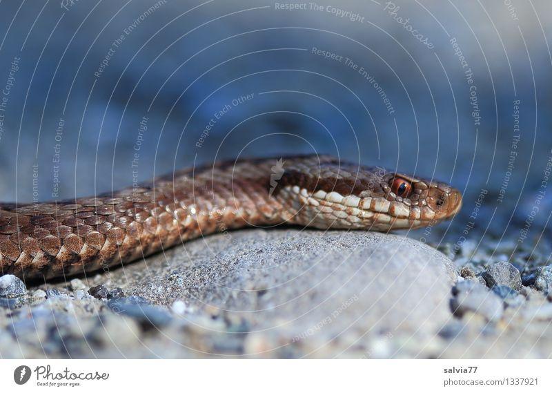 snake Umwelt Natur Tier Wildtier Schlange Schuppen Kreuzotter Natter Giftschlange 1 Jagd authentisch bedrohlich dunkel exotisch listig dünn braun grau