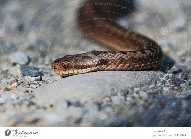 Giftschlange Natur Tier Umwelt Bewegung Wildtier beobachten bedrohlich Jagd Umweltschutz Tiergesicht krabbeln Reptil Schlange Schuppen Natter Schleichen