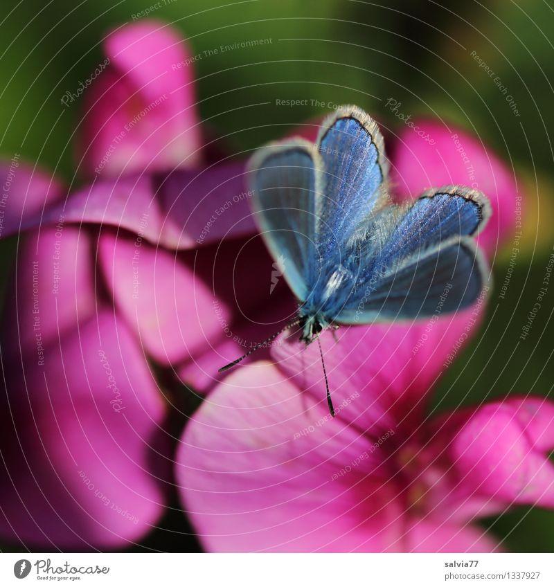 Blau in Pink harmonisch Wohlgefühl Sinnesorgane Duft Natur Pflanze Tier Sommer Blume Blüte Gartenwicke Duftwicke Wildtier Schmetterling Flügel Bläulinge Insekt